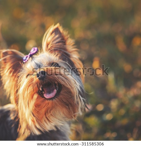 Yorkshire terrier outdoor with bow-tie on head enjoying  sunset light.