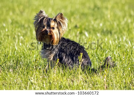 Yorkshire terrier outside on walk