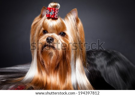 Yorkshire Terrier portrait