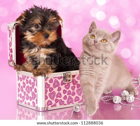 Yorkshire Terrier puppie  and british  kitten, cat and dog - stock photo