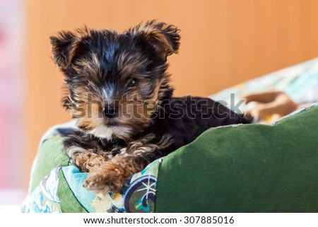 Yorkshire Terrier puppy at home - stock photo
