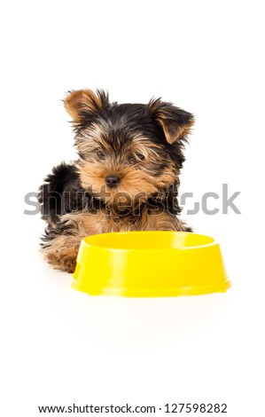 Yorkshire terrier puppy eats small isolated - stock photo