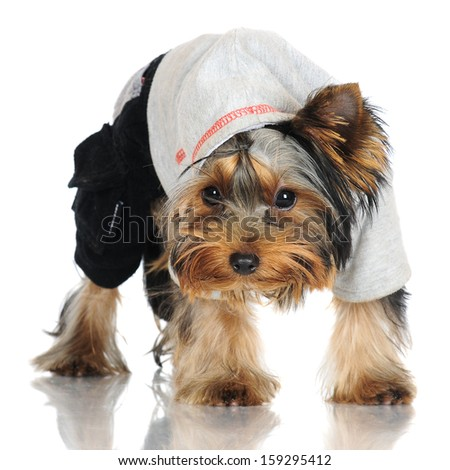 yorkshire terrier puppy in a hoodie