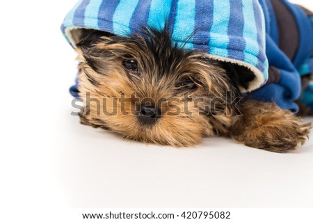 Yorkshire terrier puppy in close-up attire - stock photo
