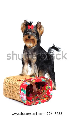 Yorkshire terrier puppy in studio on a white background