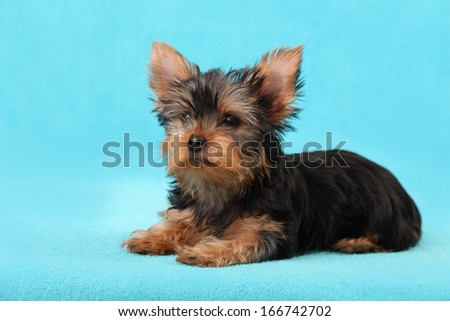 Yorkshire Terrier puppy isolated on a blue background