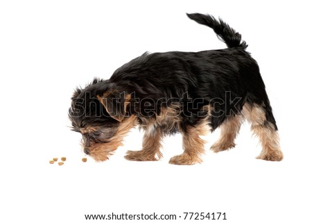 Yorkshire Terrier puppy isolated over white background - stock photo