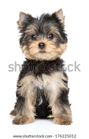 Yorkshire terrier puppy (2,5 month). Portrait on white background - stock photo