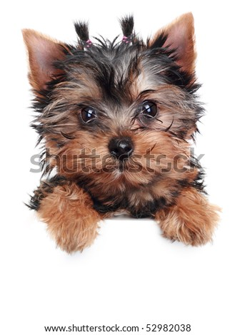 Yorkshire Terrier puppy on a white background - stock photo