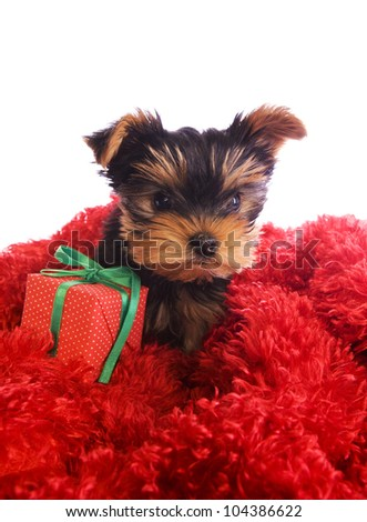 Yorkshire Terrier puppy on red with gift box isolated - stock photo