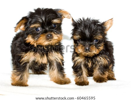 Yorkshire Terrier puppy on the white background - stock photo