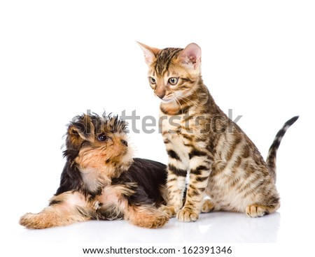 Yorkshire Terrier puppy playing with purebred bengal kitten. isolated on white background
