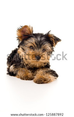 Yorkshire terrier puppy portrait isolated