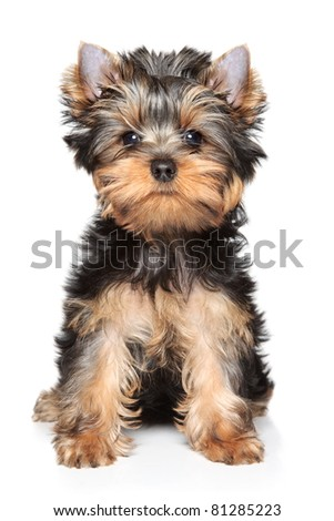 Yorkshire terrier puppy sits on a white background - stock photo