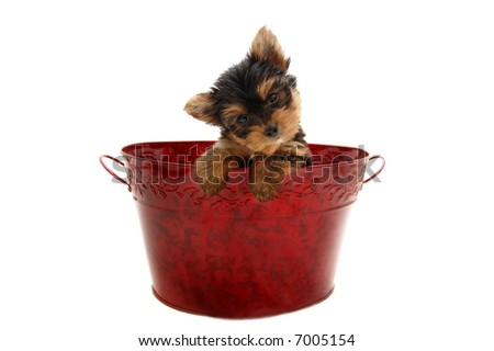 Yorkshire Terrier puppy sitting in a Christmas basket - stock photo