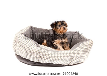 Yorkshire Terrier puppy sitting in dog bed