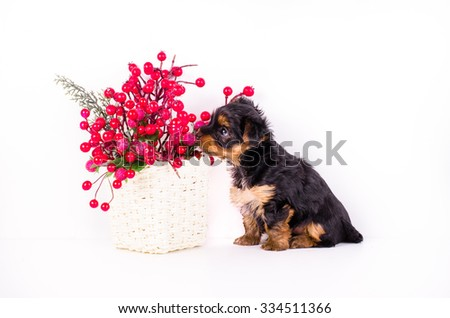 Yorkshire Terrier puppy sitting near decor berries, 2 months old, isolated on white.  - stock photo