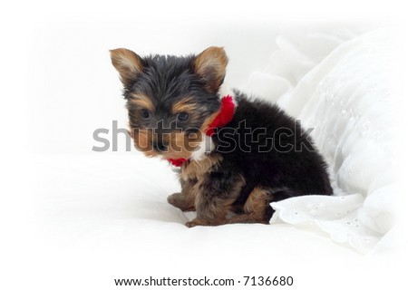 Yorkshire Terrier puppy sitting on white pillow with Christmas necklace - stock photo