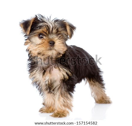 Yorkshire Terrier puppy standing in front. isolated on white background