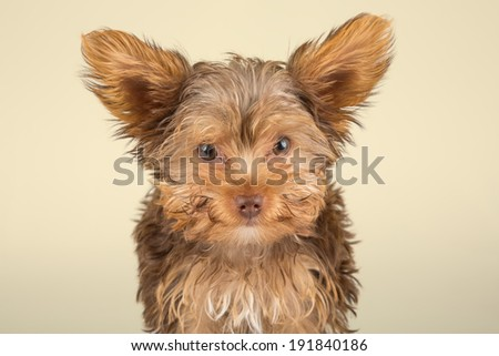 Yorkshire Terrier puppy standing in studio looking inquisitive on beige background - stock photo