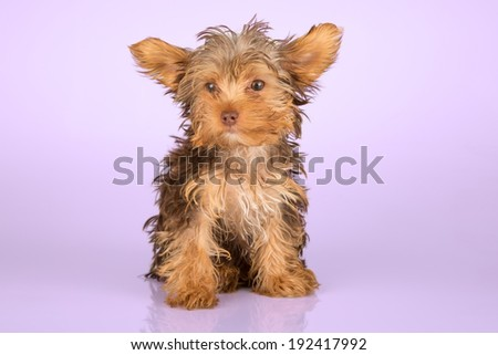 Yorkshire Terrier puppy standing in studio looking inquisitive on pink background - stock photo
