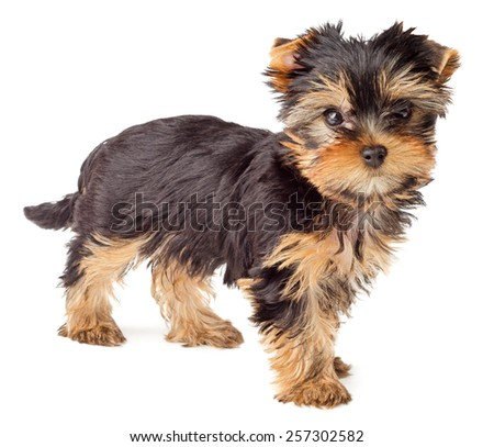 Yorkshire Terrier puppy standing, 2 months old, isolated on white background - stock photo