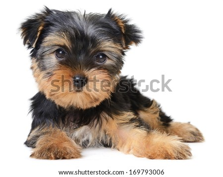 yorkshire terrier puppy the age of 3 month isolated on white  - stock photo
