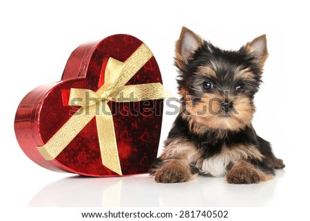 Yorkshire terrier puppy with red heart on a white background - stock photo