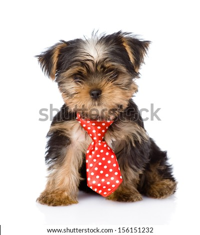 Yorkshire Terrier puppy with tie sitting in front. isolated on white background - stock photo