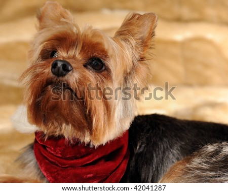 Yorkshire Terrier ready for Christmas