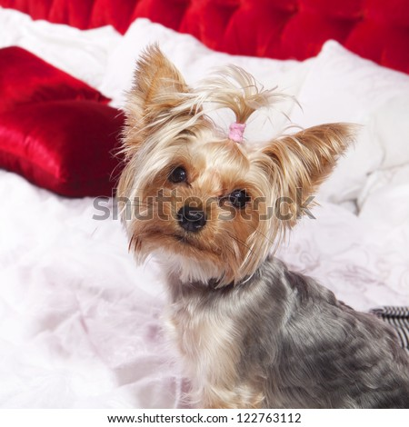 Yorkshire terrier sits on bed and looks in camera - stock photo