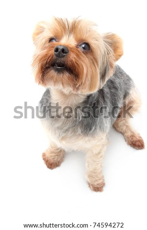 Yorkshire Terrier sitting and waiting eagerly - stock photo