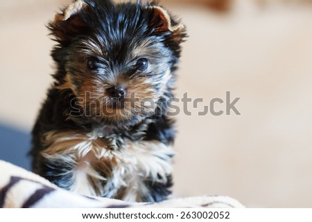 Yorkshire terrier sitting on the couch at home in the living room - stock photo