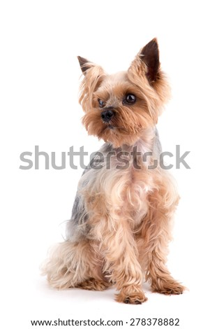 Yorkshire Terrier sitting on white background - stock photo