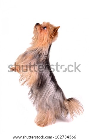 Yorkshire Terrier standing on hind legs, isolated on white - stock photo