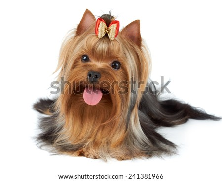 Yorkshire Terrier stuck tongue out. Isolated on white