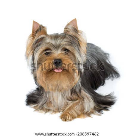 Yorkshire terrier stuck tongue out over white