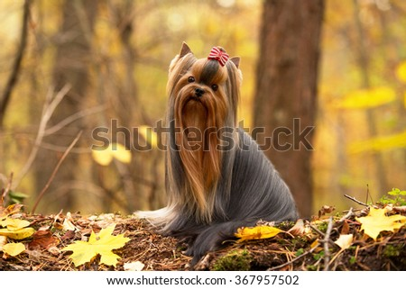 Yorkshire terrier with chic long hair sitting on a fallen tree in the autumn forest