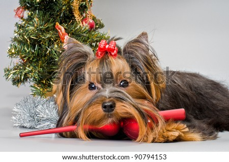 Yorkshire Terrier with Christmas accessories