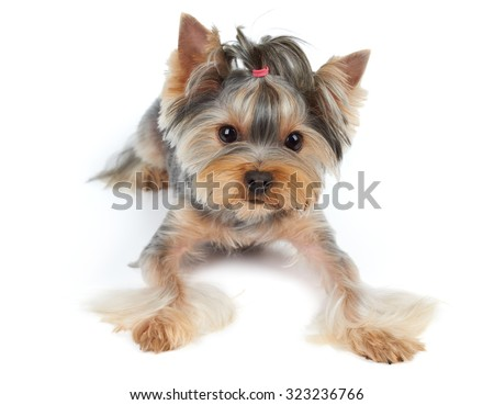 Yorkshire Terrier with large beautiful eyes and short hair lies on white background                                - stock photo
