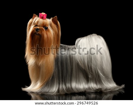 Yorkshire Terrier with long groomed Hair Stands on black background