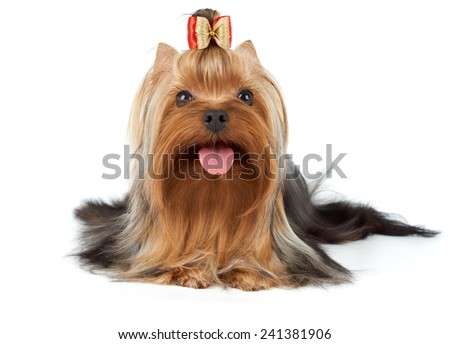 Yorkshire Terrier with red and golden bow on white - stock photo