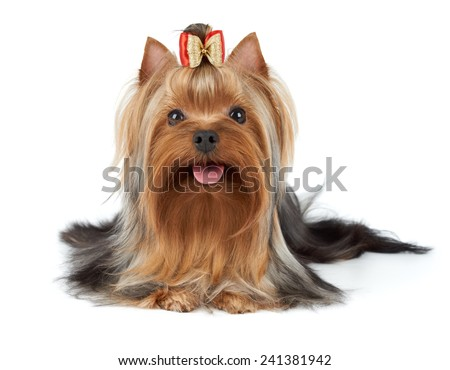 Yorkshire Terrier with small bow on white - stock photo
