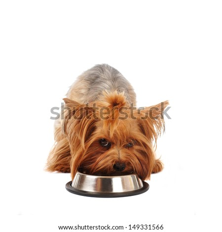 Yorkshire terrier with steel bowl looking at camera, maybe defend it's food isaloted on white - stock photo