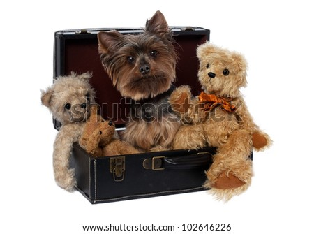 Yorkshire Terrier with Teddy in Suitcase  on a white background - stock photo