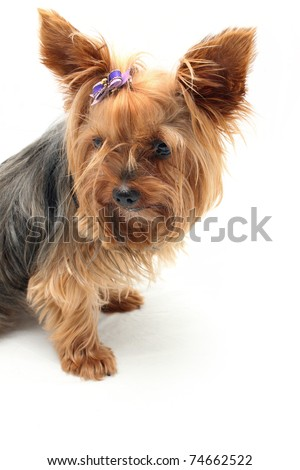 Yorkshire Terrier with upright ears - stock photo