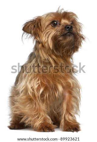 Yorkshire Terrier, 5 years old, sitting in front of white background - stock photo