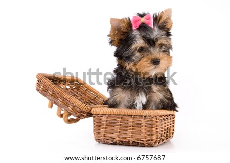 Yorkshire Terrier (York) puppy sitting in box on a white background. - stock photo