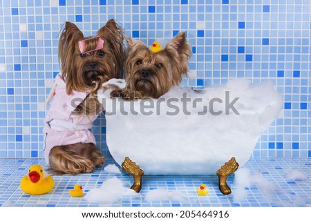 Yorkshire terriers are bathed in the bathroom - stock photo