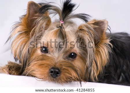Yorkshirskiy terrier,  large pieces